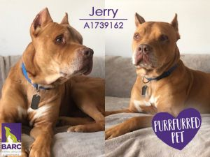 Handsome and regal Jerry is currently enjoying a staycation in a foster home Please email BARCFoste