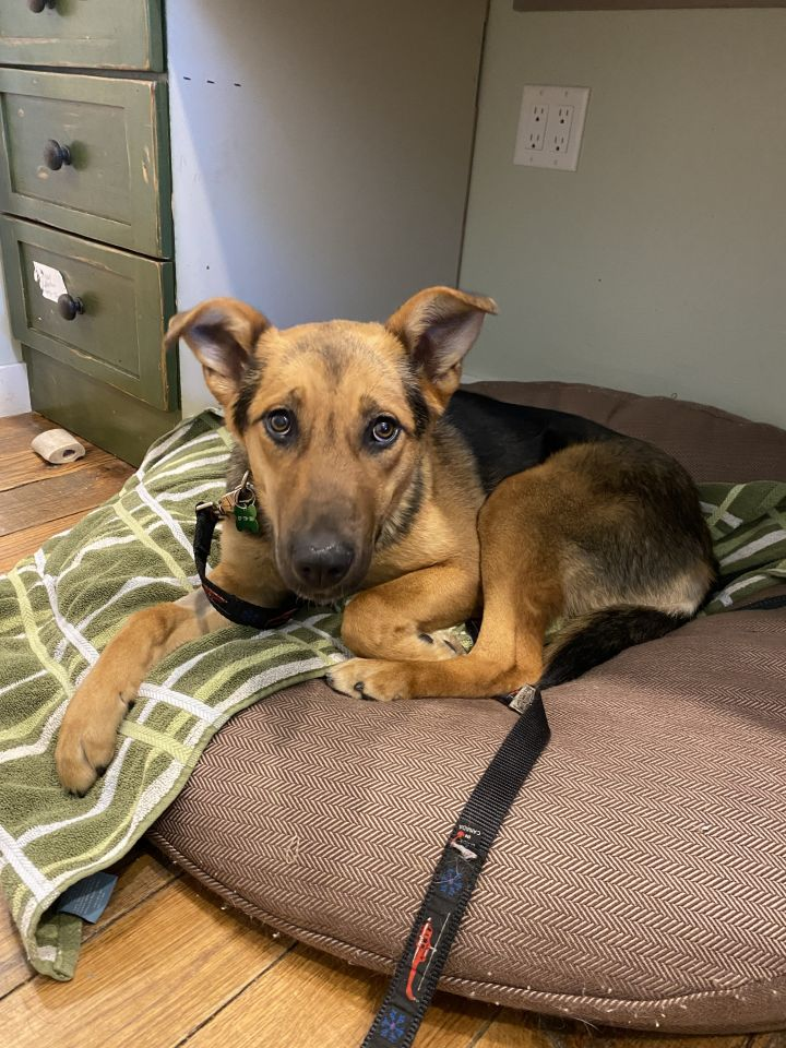 Dorothy, an adopted German Shepherd Dog Mix in Jackson, WY