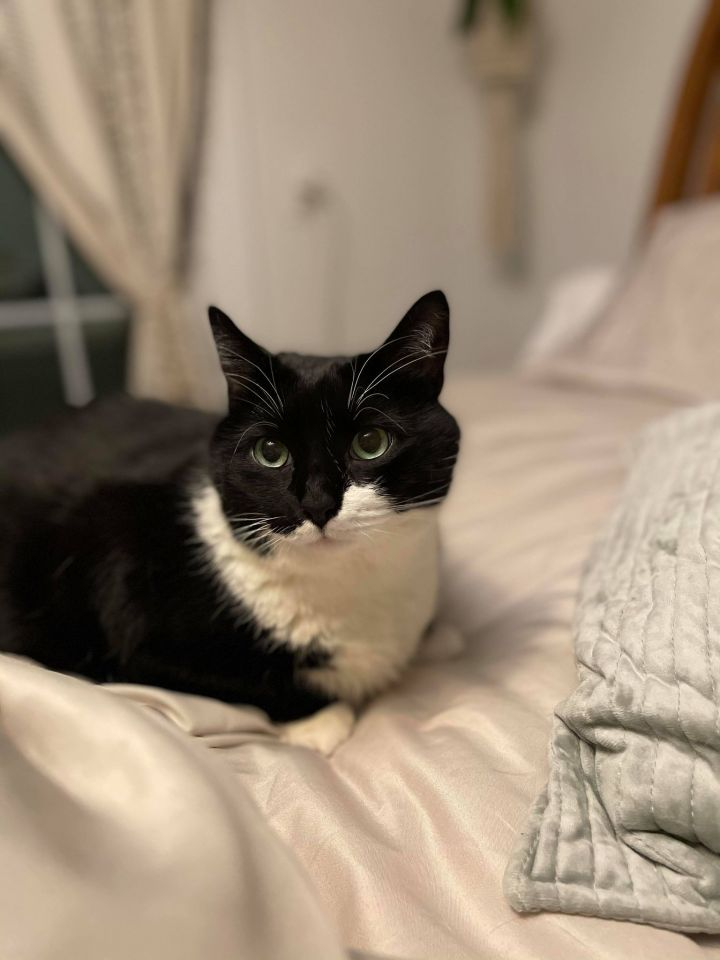 Mo, an adopted Domestic Short Hair Mix in Chesapeake Beach, MD_image-2