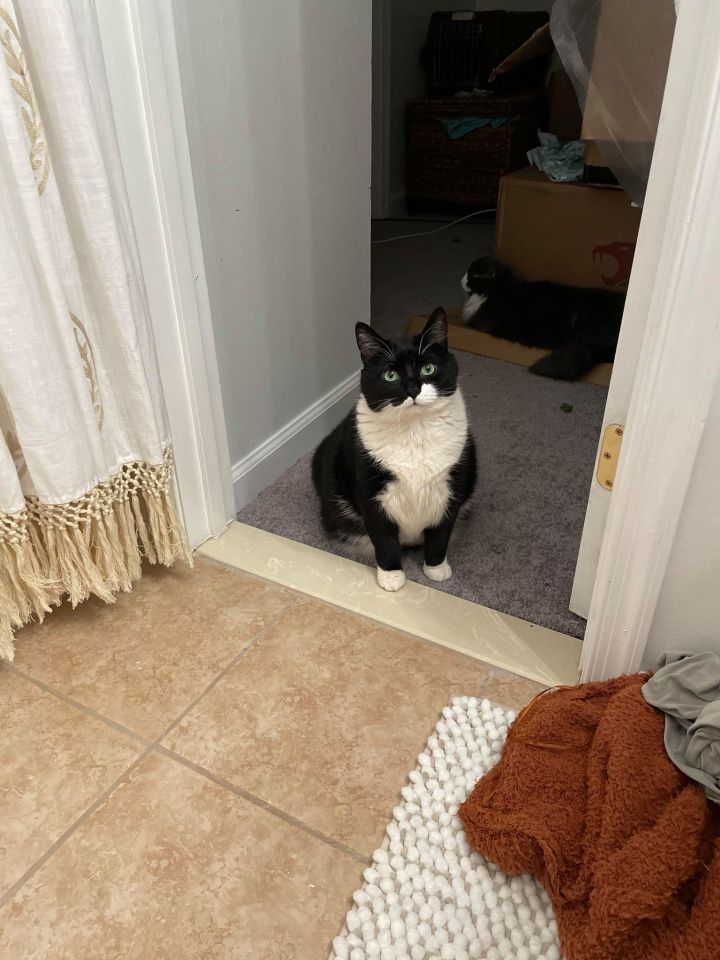 Mo, an adopted Domestic Short Hair Mix in Chesapeake Beach, MD_image-5