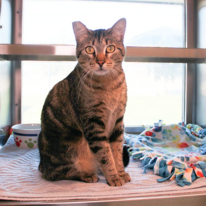 Alvin, an adoptable Domestic Short Hair Mix in Clovis, CA