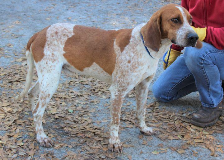 Ruger Talbot- handsome hound-ADOPTION PENDING 2