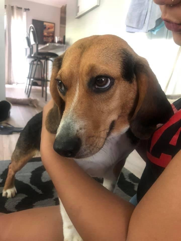 Shiloh - formerly Snoopy Talbot- adorable beagle 2
