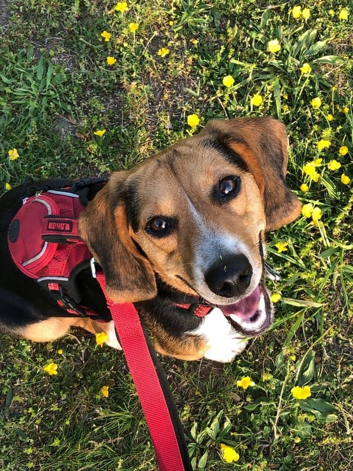 Snoopy Talbot- cute beagle-ADOPTION PENDING 3