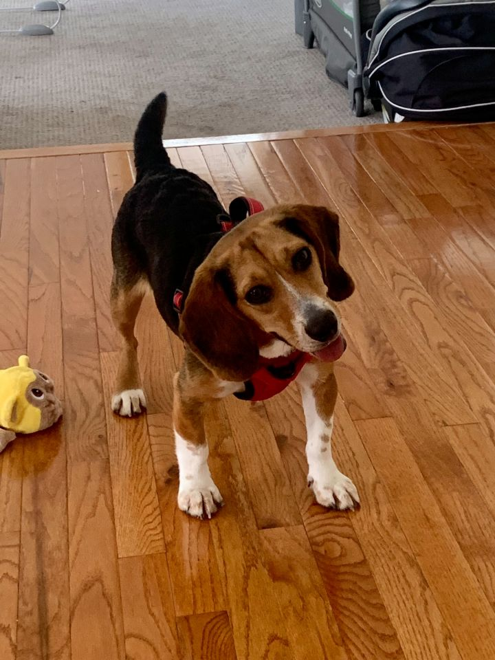 Shiloh - formerly Snoopy Talbot- adorable beagle 1