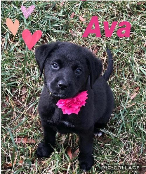 Ava - ADOPTED!!, an adopted Black Labrador Retriever Mix in Arlington, VA_image-1
