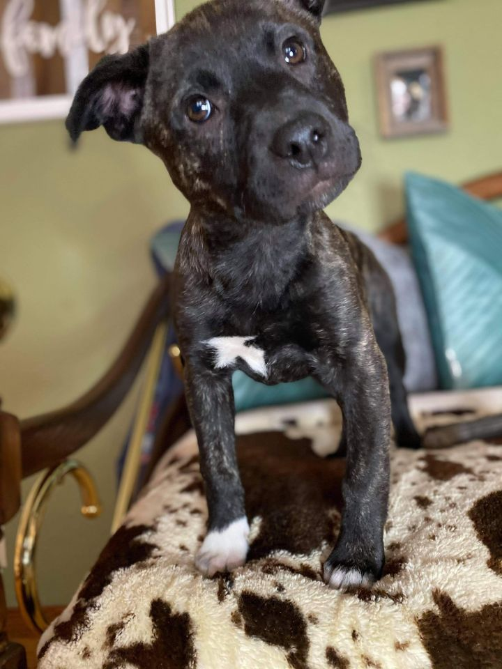Aspen, an adoptable Pit Bull Terrier Mix in Oklahoma City, OK_image-2