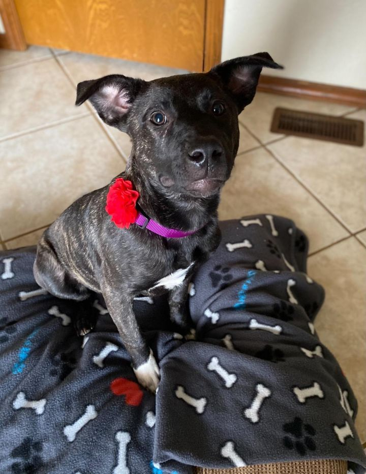 Aspen, an adoptable Pit Bull Terrier Mix in Oklahoma City, OK_image-3