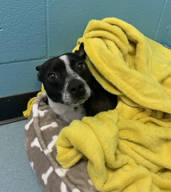 Poptart, an adoptable Boston Terrier & Chihuahua Mix in Louisville, KY