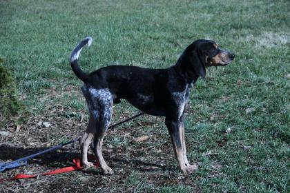 Louy, an adoptable Bluetick Coonhound Mix in Cumberland, MD