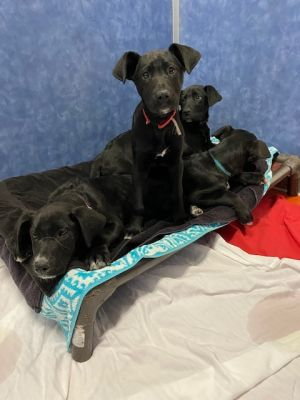 Great Dane Mix Puppies
