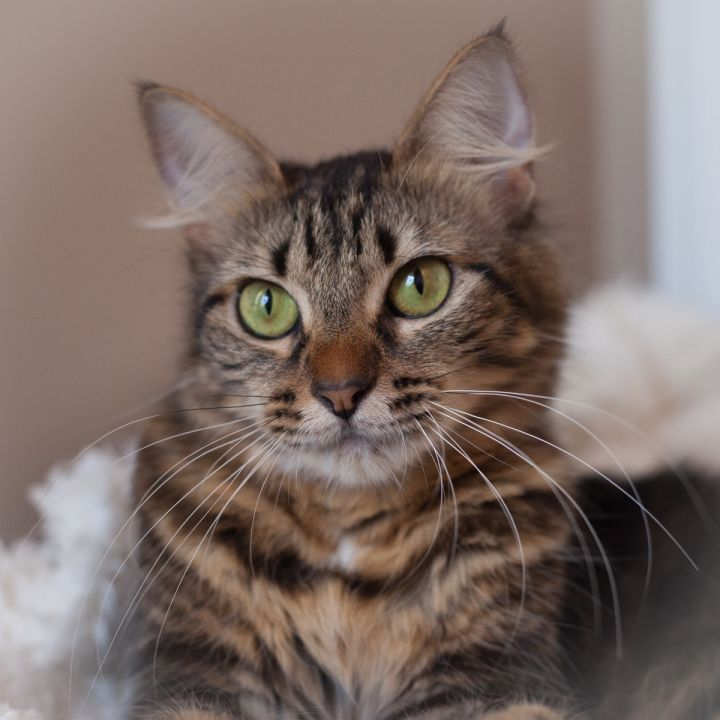 Belanna, an adopted Maine Coon & Domestic Medium Hair Mix in Ponte Vedra, FL_image-1