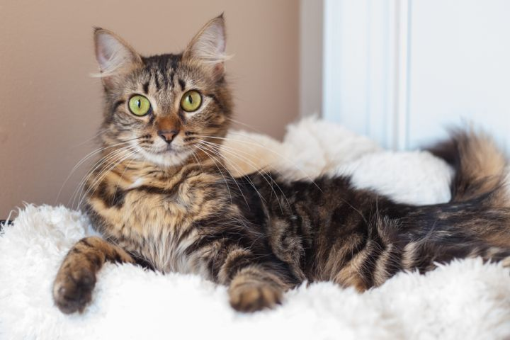 Belanna, an adopted Maine Coon & Domestic Medium Hair Mix in Ponte Vedra, FL_image-3