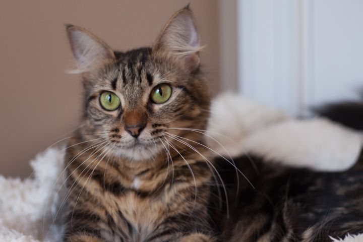 Belanna, an adopted Maine Coon & Domestic Medium Hair Mix in Ponte Vedra, FL_image-5