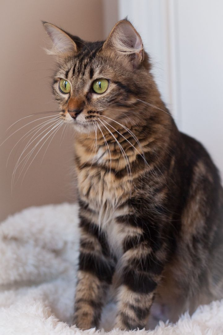 Belanna, an adopted Maine Coon & Domestic Medium Hair Mix in Ponte Vedra, FL_image-6
