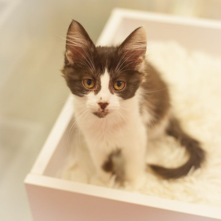Leopold, an adopted Domestic Medium Hair in Ponte Vedra, FL