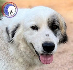 She is a solo act Runcie is a sweet petite four and half-year-old Great Pyrenees mix She is bea