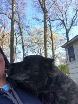 Rosco Cane Corso Dog
