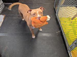 Turducken Pit Bull Terrier Dog