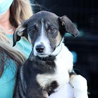 Soigner Watson, an adopted Dachshund & Rat Terrier Mix in Chantilly, VA_image-1