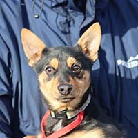 Rocky, an adopted Miniature Pinscher Mix in Chantilly, VA