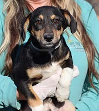 Soigner Walter, an adopted Dachshund & Rat Terrier Mix in Chantilly, VA