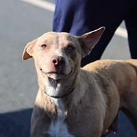 Blossom, an adopted Pit Bull Terrier & Catahoula Leopard Dog Mix in Chantilly, VA