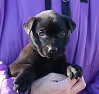Arcadia 8 Yzma, an adopted Labrador Retriever Mix in Chantilly, VA