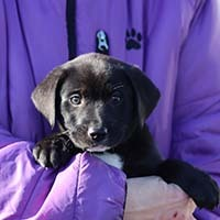 Arcadia 8 Krunk, an adopted Labrador Retriever Mix in Chantilly, VA