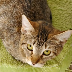 Peggy Carter is a playful adorable and affectionate 5 month old kitten She gets along well with ot