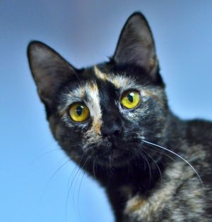 Harlequin is a playful adorable and affectionate 4 month old kitten She gets along well with other