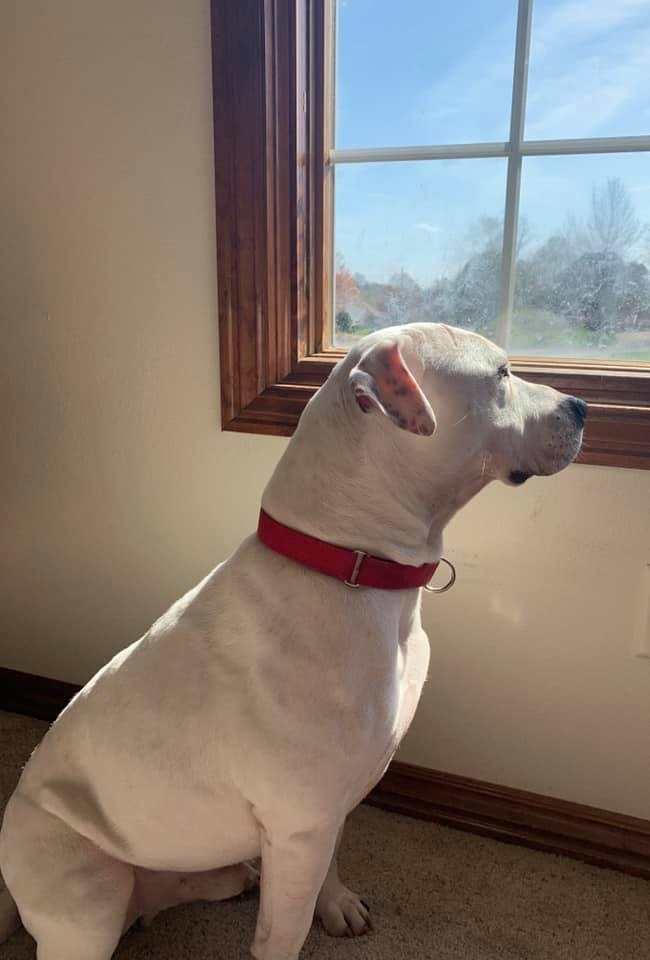 Axton, an adoptable Pit Bull Terrier Mix in Springfield, MO