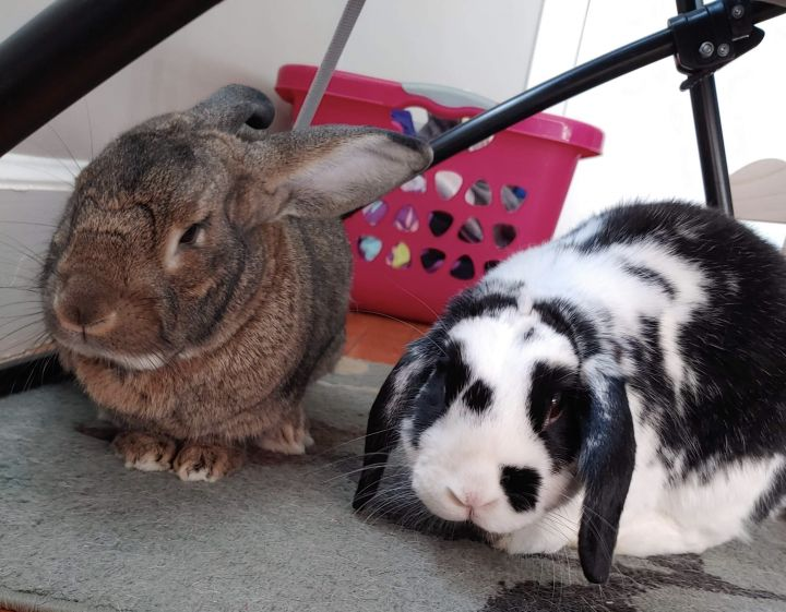 Freida & Gustavo, an adopted Lop Eared in Woburn, MA