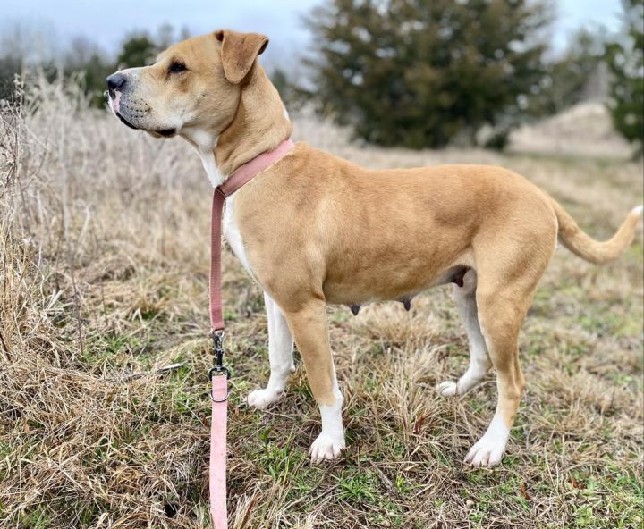 Roxie, an adoptable Boxer & Shar-Pei Mix in Quinlan, TX