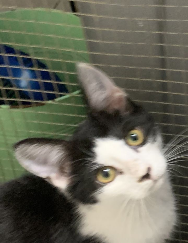 Oreo, an adopted Domestic Short Hair in Medford, MA