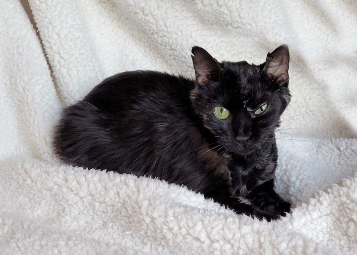Fury, an adoptable Domestic Short Hair Mix in Carencro, LA
