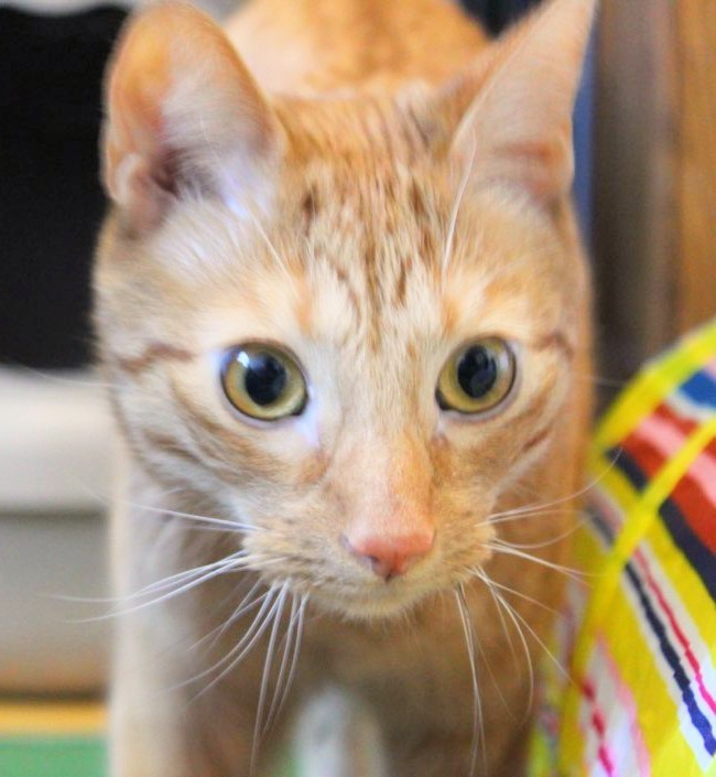 Alex, an adopted Domestic Short Hair in Melrose, MA