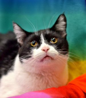 Itty Bitty aka Orca is a small black and white Tuxedo female with a huge personality She has been