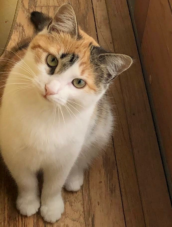 Ivy, an adoptable Calico in Long Beach, NY