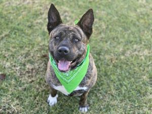 Amy is a smart 76 lb Akita mix who enjoys learning new things She can be a little timid meeting