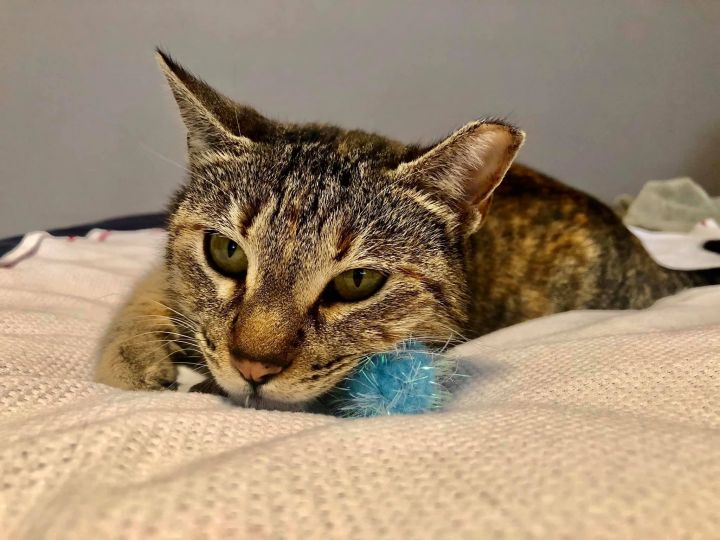 Gwennie, an adoptable Domestic Short Hair Mix in Carencro, LA