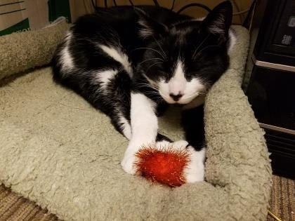 Digger, an adopted Domestic Short Hair in Bellingham, WA