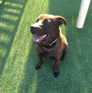 Logan Labrador Retriever Dog