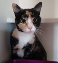 Paprika, an adopted Calico in Windsor Locks, CT