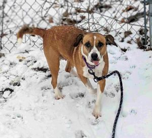 Sugar is as sweet as her name She is a 6-year-old beagle mix and weighs 31 lbs Sugar loves attenti