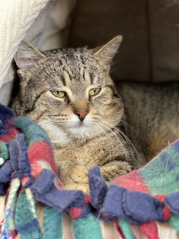Ezran, an adopted Domestic Short Hair in Naperville, IL
