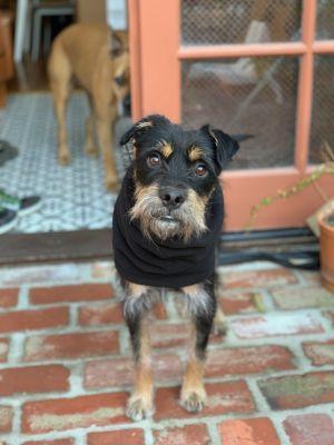 Gonzo Terrier Dog