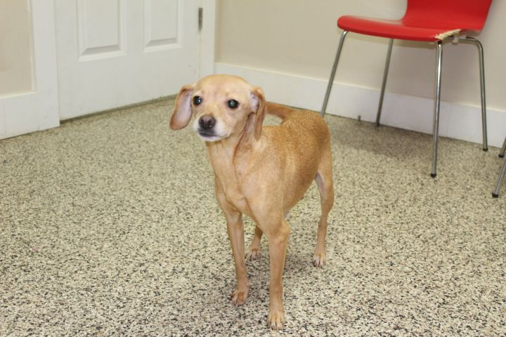 Ocean, an adopted Chihuahua Mix in Madras, OR