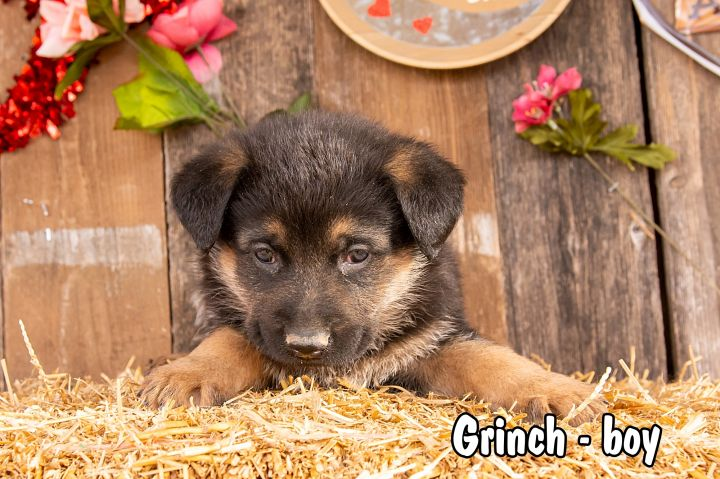 Grinch, an adopted German Shepherd Dog Mix in Omaha, NE