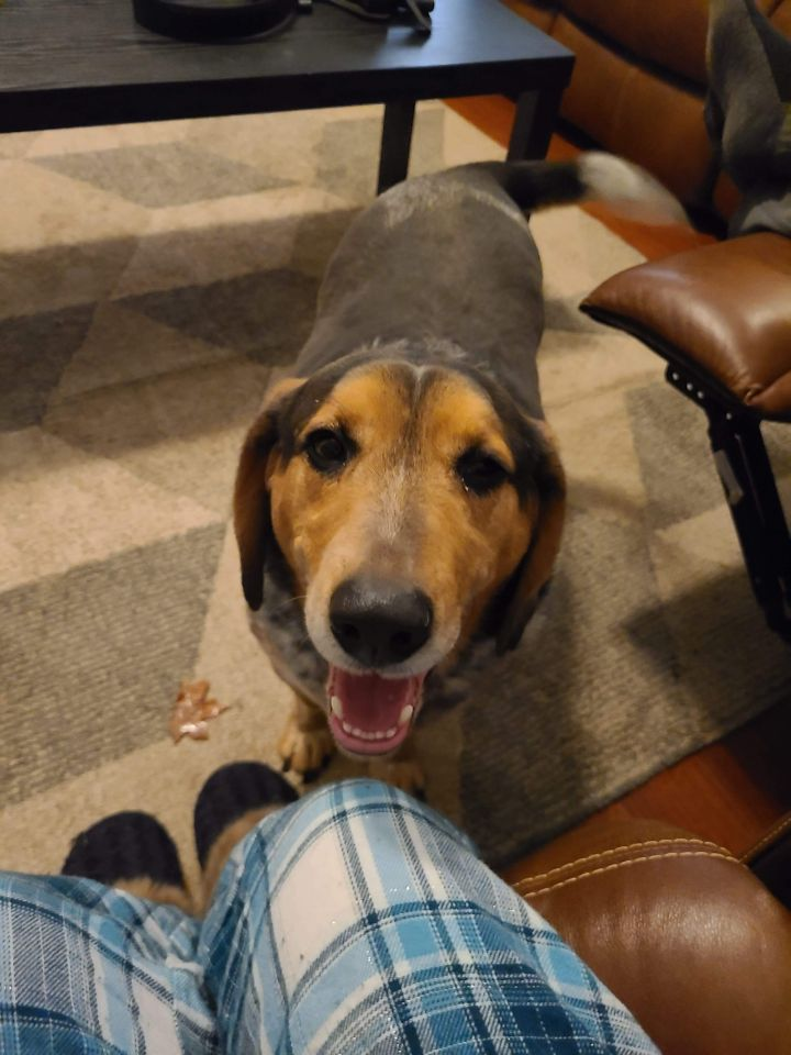 Neyland, an adoptable Basset Hound & Beagle Mix in Knoxville, TN